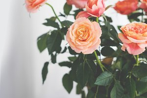 Potted Peach Roses