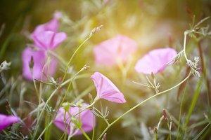 Pink Bindweeds in a field