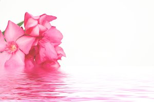 Pink oleander flowers close up