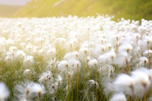 Arctic Cotton Grass in Iceland