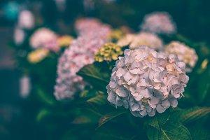 Pink hydrangea flowers bush in