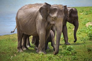 Asian elephants after watering. Pinnawala.