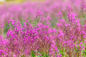 Fluffy pink fireweed flowers