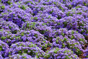 Beautiful flowerbed with purple