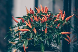 Spicy red pepper in a pot grows