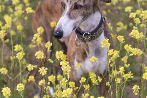 Greyhound Happy in the spring