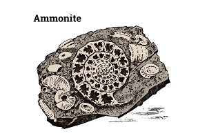 Preserved Ammonite specimen. Fragment fossils, skeleton of prehistoric dead animals in stone. Archeology or paleontology. engraved hand drawn old vintage sketch. Vector illustration.