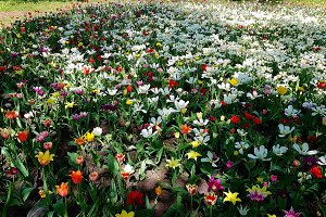 colorful tulips are the tracks in the posture in the ground.