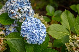 Purple flower of a hydrangea