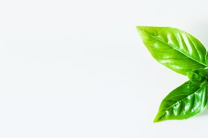 banner of close up of fresh basil leaves isolated on white. copy