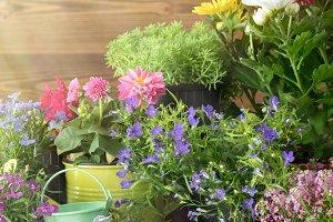 Seedling of garden flowers.