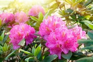 Blossom rhododendron.