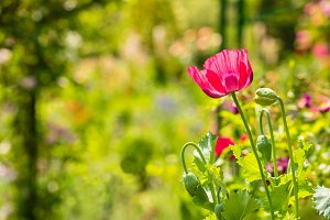 Red poppy in a summer meadow on