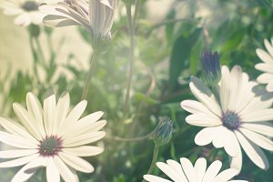 Osteospermum flowers at Sunny Day