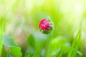 Bellis, English daisy, bud flower