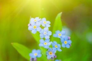 Unique blue forget-me-not flowers