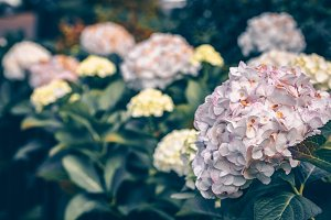 Pink hydrangea flowers bush in