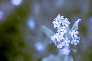 Unique blue forget-me-not flowers