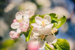 Apple blossoms over blurred nature