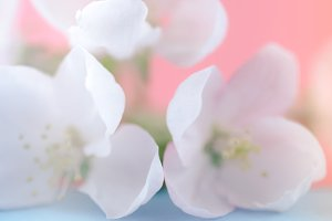 Apple blossoms over blurred color