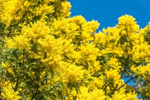 Yellow blooming of mimosa tree in