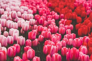 Multicolored tulips field in the