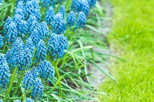 Blue Muscari hyacinth field in the