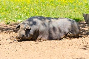 Iberian pigs herd (pata negra)