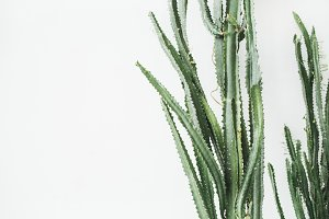 Succulent at white background