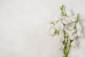 Beautiful white flowers campanula on white background
