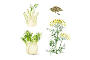 Fennel flowering plant perennial herb with yellow flowers, feathery leaves