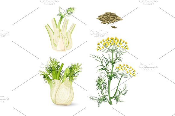 Fennel Flowering Plant Perennial Herb With Yellow Flowers Feathery Leaves