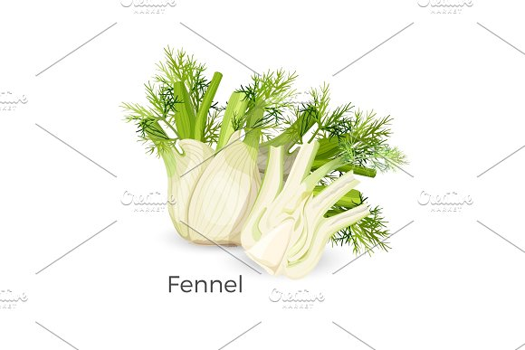 Fennel Roots Bulb-like Stem Base Used As Vegetable Realistic Vector