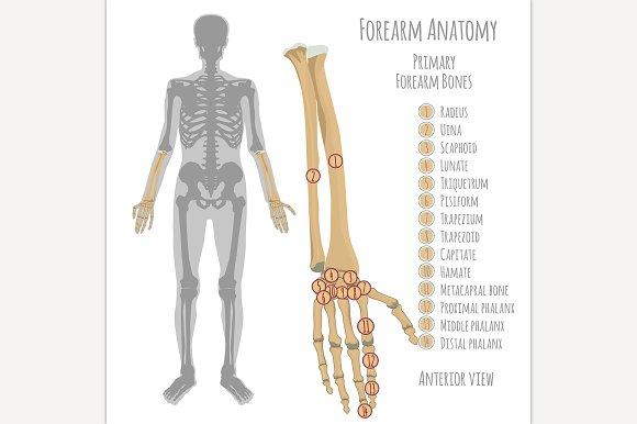 Male Forearm Bones Anatomy