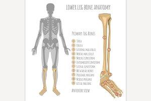 Lower Leg Bone Anatomy