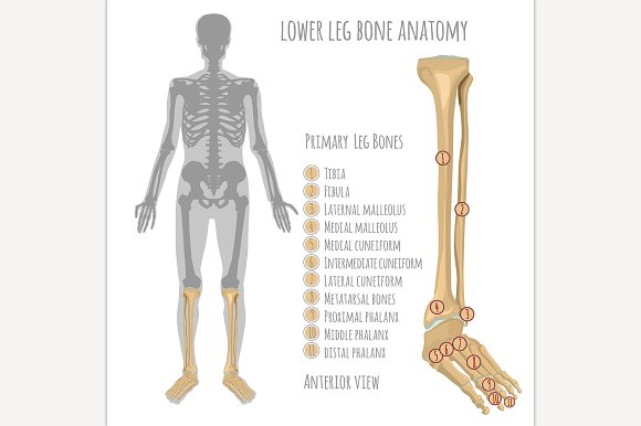 Lower Leg Bone Anatomy ~ Illustrations ~ Creative Market