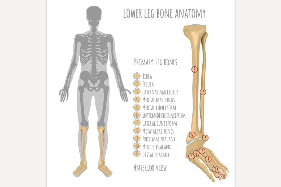 Lower Leg Bone Anatomy Illustrations Creative Market