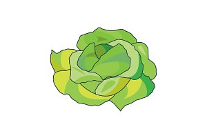 Color vector illustration. Cabbage