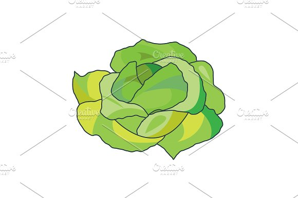 Color Vector Illustration Cabbage