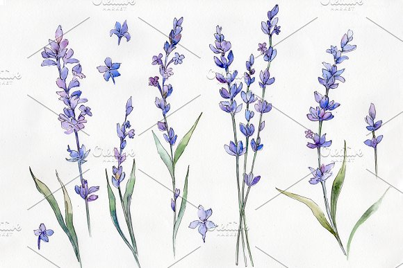Wild Field Lavender PNG Watercolor
