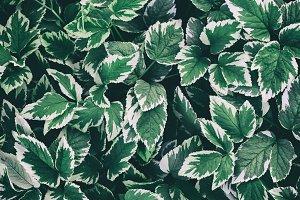leaves aegopodium podagraria