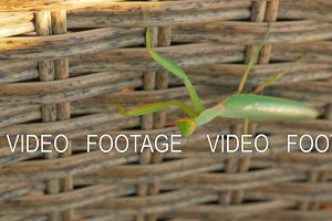 Praying mantis on wicker hedge