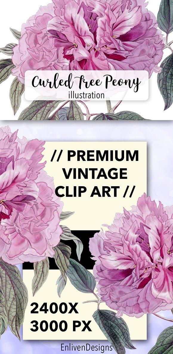 Florals Vintage Curled Tree Peony