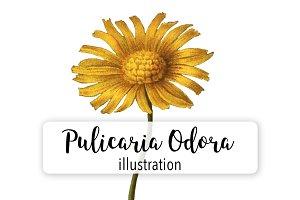 Florals: Vintage Pulicaria Odora