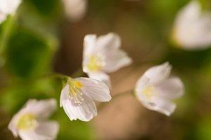 Oxalis acetosella /  wood-sorrel