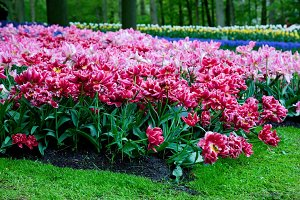 Romantic pink tulip flowers