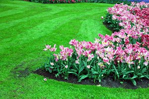 Romantic pink tulip flowers