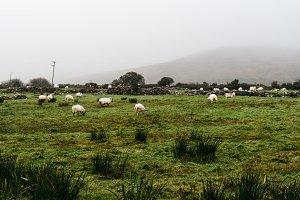 Flock of sheeps grazing in green field