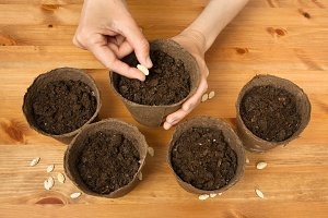hands planting seeds in the peat pot