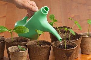 hand watering seedlings of cucumber